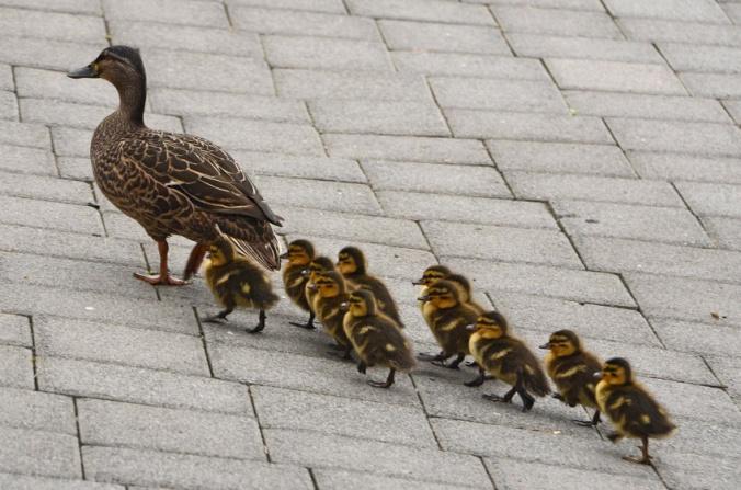 ducklings-open2view