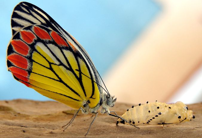 1200px-a_just_born_butterfly_-_common_jezebel_28delias_eucharis29