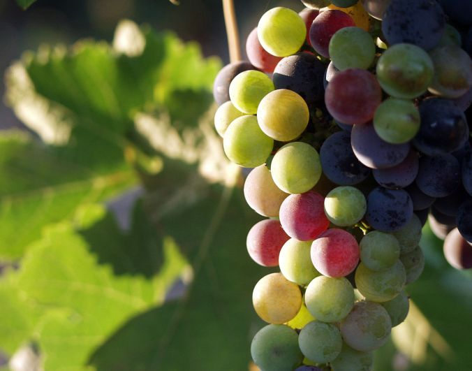 1145px-grapes_during_pigmentation_2