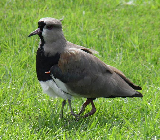 Southern_lapwing_protecting_one_of_its_chicks_under_its_wings