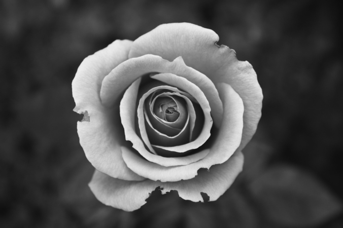blossom-black-and-white-plant-white-photography-flower-962455-pxhere.com