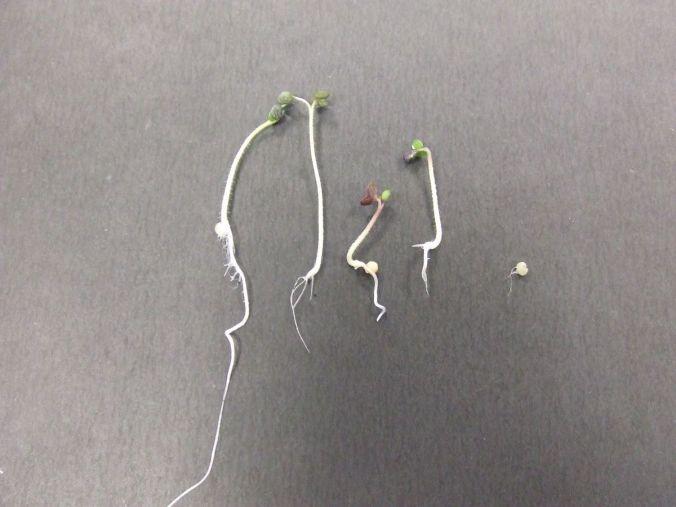 1200px-mustard_seedlings